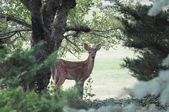 IMG_9252 (thinktank8326) Tags: deer whitetaileddeer fawn doe babyanimal babydeer nature wildlife
