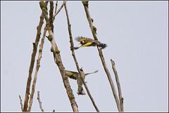 Putter (pietplaat) Tags: pietplaat vogels vlaardingenbroekpolder putter