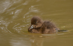 Little-Duck-4608 (Kulama) Tags: littleduck duck birds nature wildlife water summer canon7d sigma150600c563