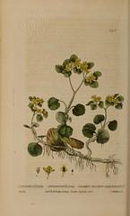 Anglų lietuvių žodynas. Žodis golden saxifrage reiškia aukso kregždūnė lietuviškai.