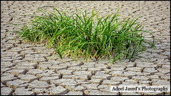Dry Cracked Earth with Plant Struggling for Life a Survival Concept (Adeel Javed's Photography) Tags: dry cracked earth with plant struggling for life survival concept adeel javed