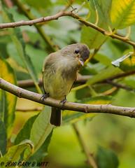 Western Wood-peewee (orencobirder) Tags: smallbirds flycatchers birds flickrexport