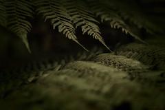 the nature of things (17) (birdcloud1) Tags: fern fernleaf green thenatureofthings plant plantlife thesecretlifeofplants amandakeogh amandakeoghphotography birdcloud1 canoneos400d eos 400 eos400d canon50mm18lens 50mm18 aotearoa statstesttag