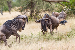 Attacking Wildebeest (Yooch) Tags: fight fighting 100400mm 100400 7d canon7d canon african africa safari animal wildlife wild attacking charging charge attack wildebeest tanzania