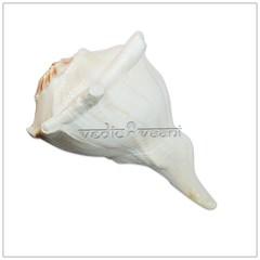 Right hand Shankh, Buy Puja Shankh from Vedic Vaani (vedicvaani) Tags: shankh puja shankha shells conch dakshinavarti items essentials pooja shank blowing shopping online purchase vishnu