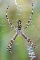 Araa tigre (Argiope bruennichi). (Carlos Garca-Donas Fernndez) Tags: araa spider araatigre macro macrophotography macrofotografa