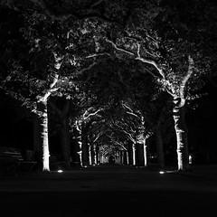 Mystical way (Frank Siebach) Tags: frankfurt main allee night light langzeitbelichtung schwarz weis bume