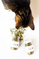 Make Your Own (Refillable!) Catnip Toys + A Tabby James Giveaway (kayleighkosmas) Tags: diy cat kitten catnip giveaway tabby