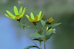 su (conteluigi66) Tags: naturebynikon luigiconte giallo fiore ape insetto petali gambo