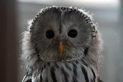 DSC_6216 (Joachim S. Müller) Tags: eule owl greifvogel raubvogel birdofprey vogel bird tier animal falknershow falknerei falconry jagtschlosskranichstein jagtschloss kranichstein darmstadt hessen deutschland germany
