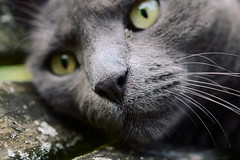 mo nose :) (rainbowcave) Tags: cat tomcat nose face portrait whiskers katze kater nase augen eyes