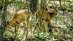 Assiniboine Park - September 14, 2016 15-43-22 (DerboPhoto) Tags: assiniboinepark deer doe beautiful 204 winnipeg manitoba canada derbophoto forest