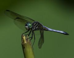 DragonFly_SAF9477 (sara97) Tags: copyright2016saraannefinke dragonfly flyinginsect insect missouri mosquitohawk nature odonata outdoors photobysaraannefinke predator saintlouis towergrovepark urbanpark