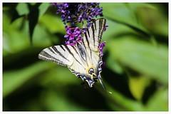 Koninginnepage (Papilio machaon) (M inspired by nature) Tags: papilio machaon canon vlinders butterflies koninginnepage swallowtail
