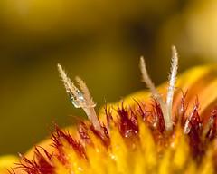 Cosmo Spike's. (Omygodtom) Tags: dof digital diamond star flickr flower macro macromonday bokeh tamron90mm texture waterdrops nature mist natural nikon d7100