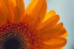 Orange Gerbera (athinaengland) Tags: flower flowers plant plants macro macrophotography orangegerbera