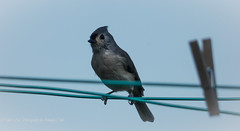 Tufted Grey (1 of 1) (amndcook) Tags: farm michigan outdoors bird clothesline clothespin field nature tuftedtitmouse wildlife