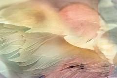 Feathered (pni) Tags: bird feather plumage gull man human head hair nose person people being multiexposure multipleexposure tripleexposure j16 jakobstad pietarsari finland suomi pekkanikrus skrubu pni