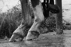 hoof (letalka) Tags: blackandwhite monochrome horse hoof smog