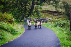 4 You Shall Not Pass! (daedmike) Tags: beinndubh luss glenstriddle scotland sheep cattle rams guardians countryside path lane wool horns