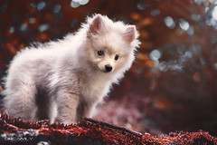 Milo-Rot-Weiss (Dreamly by Sven Trzcinski) Tags: puppy dogs dog wolf cute love colorful art photopgraph germany hagen dreamly pomeranian pomeran zwergspitz sweet sugar