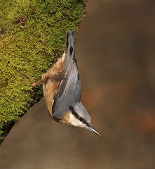 Nuthatch-Ferg-Cowhig (Marwell Wildlife) Tags: marwell peoples choice 2016 photographer year wildlife vote