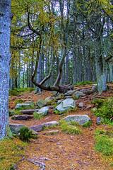 late afternoon autumn forest walk on Bennachie, Aberdeenshire, Scotland (grumpybaldprof) Tags: aberdeenshire scotland gordon nearaberdeen bennachie colour hdr forest afternoon autumn lateautumn earlywinter trees leaves path rocks granite tamron 16300 16300mm tamron16300mmf3563diiivcpzdb016