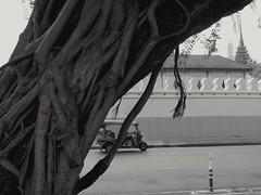 Figuier trangleur. Strangler fig (alainpere407) Tags: alainpere bangkok arbre ficus tree figtree tuktuk streetofbangkok ruesdebangkok figuiertrangleur stranglerfig blackdiamond