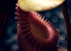 Nepenthes edwardsiana (Hejemoni (@fbauzonx on Instagram)) Tags: nepenthes pitcherplant carnivorousplant red blue color colors light lighting shadows strobist macro extensiontube nature sandiego california balboapark 50mm
