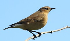 Wheatear 110916 (6) (Richard Collier - Wildlife and Travel Photography) Tags: wildlife naturalhistory birds british wheatear coth5