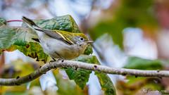 Chestnut-sided Warbler (Bob Gunderson) Tags: birds california chestnutsidedwarbler dendroicapensylvanica goldengatepark middlelake northerncalifornia sanfrancisco warblers woodwarblers