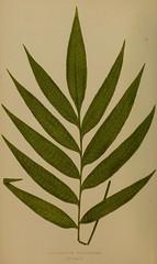 n29_w1150 (BioDivLibrary) Tags: ferns smithsonianinstitutionlibraries bhl:page=34992934 dc:identifier=httpbiodiversitylibraryorgpage34992934
