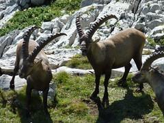 P1010380 (Knut Skarsem) Tags: alps animal mammal schweiz switzerland suisse wildlife alpen helvetica svizzera bovidae mammalia sveits swissalps ibex alpstein steinbock capra bouquetin ruminant svizra stambecco alpensteinbock artiodactyla alpene capraibex alpineibex kozorog steinbukk bouquetindesalpes appenzellalps appenzelleralpen gemeinersteinbock stambeccodellealpi alpskikozorog