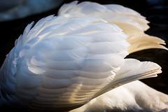 wings (Armin Synek) Tags: macro canon eos swan wings usm schwan f28 flgel ef100mm schwingen 5dmarkiii