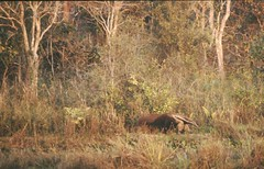 Giant Anteater (Mark Berthold) Tags: pantanal giantanteater