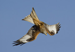 Red kite (Alchimi) Tags: wild bird nature wales flight redkite rhayader gigrinfarm