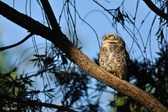 Horror!!! (Poorna Kedar) Tags: india cinema bird eye big asia bangalore birding feathers scene pop owl horror spotted
