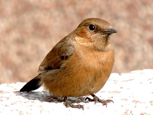 The Brown Rockchat (Cercomela fusca)..India