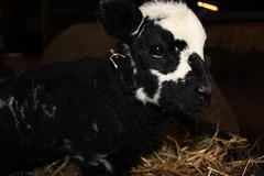 Oh my Little Baby  Explore # 184 ( 23-2-2013 Thanks !!! (excellentzebu1050) Tags: closeup explore lamb lambs newlife explored animails lambbirth 100commentgroup mygearandme rememberthatmomentlevel1 vigilantphotographersunite vpu2 vpu3
