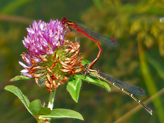 Red Damselfly, Male and Female (kiwizone) Tags: camera bridge red lake macro central panasonic telephoto zealand mating otago damselfly dunstan zealandica fz200 xanthocnemis