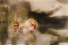 Jigokudani Yaen-Koen (milalibe) Tags: winter monkey agua nieve mila invierno claudio inverno frio hielo macacos monos aguatermal