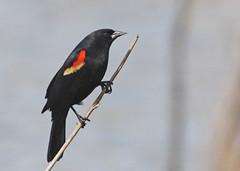 Red-winged Blackbird (Tombo Pixels) Tags: bird newjersey nj springlake redwingedblackbird trentonmarsh roeblingpark twb1 trentonmarsh130021