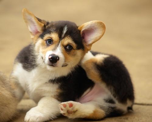 Corgi Puppies 109