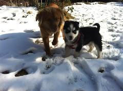 Artic Baby (articsiberian.sleddog) Tags: dog snow eye art love beautiful cane alaska puppy husky malamute sledding nordic siberian sleddog cucciolo alaskan iditarod siberiano nordico