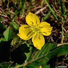 Coast sun cup (Pristine Illusion) Tags: california flora wildflowers onagraceae goldeneggs tovata camissoniaovata fairmontridge coastsuncup alamedaco ebparksok taraxia