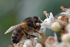 honeybee on viburnum {explored} (conall..) Tags: macro honeybee viburnum apis apismellifera raynoxdcr250