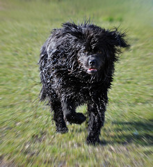 ~ Crufts, on my way!! ~ (Ruth S Hart) Tags: uk dog black water newfoundland action racing motionblur peg essex crufts thebistro ourdailychallenge nikond5100 dailydogchallenge