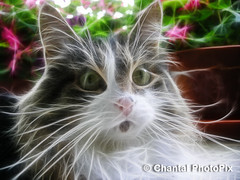 Close-up of my Cute Kitty Cat (Chantal PhotoPix) Tags: pet cats pets canada nature animal animals cat kitten feline quebec adorable kitty kittens domestic kitteh cuddly kitties gatineau felines tribute cutecat fineartphotography cutekitten lolcat lolcats