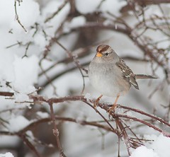 Juvenile White Crowned Sparrow (krisinct- Thanks for 12 Million views!) Tags: ed nikon if 300 f4 d300