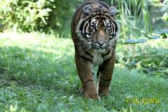 Sumatra Tiger Asim (Geralds-Raubtiere) Tags: sumatratiger zooheidelberg flickrbigcats